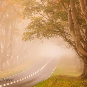 Mark Bauer Photography | ND015 Foggy morning, Kingston Lacy, Beech Avenue 1