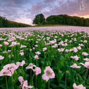 Mark Bauer Photography | ND017 Sunset over opium poppies, Durweston