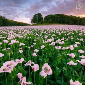 Mark Bauer Photography | ND017 Sunset over opium poppies, Durweston