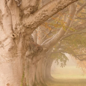 Mark Bauer Photography | A foggy morning, Kingston Lacy Beech Avenue #2