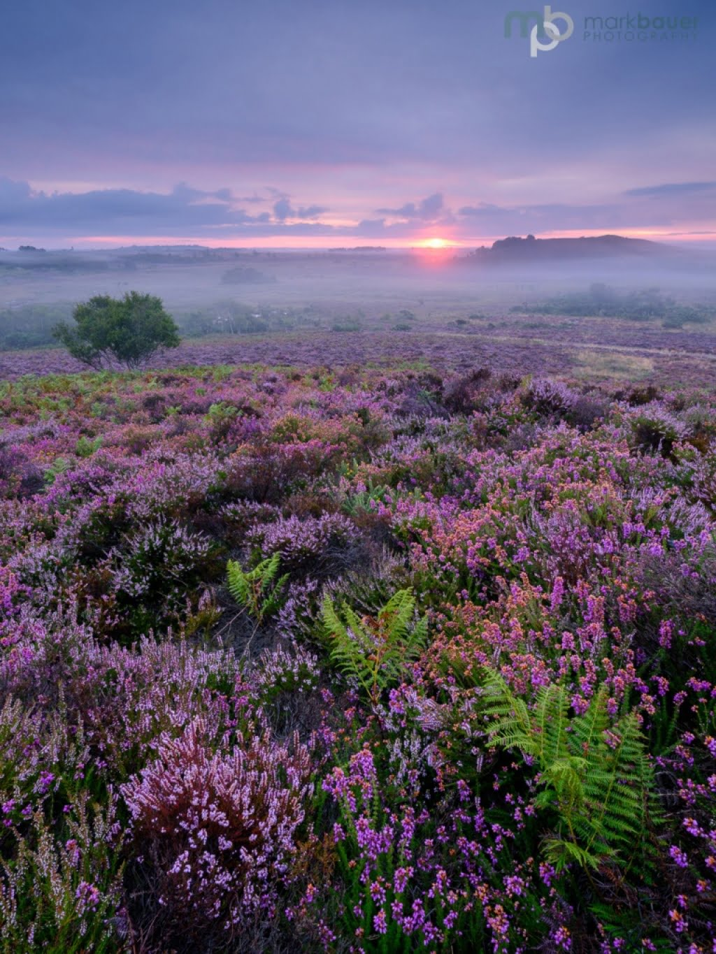 Mark Bauer Photography | Purbeck Heather, Stoborough Heath