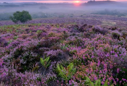 Mark Bauer Photography | Purbeck Heather, Stoborough Heath
