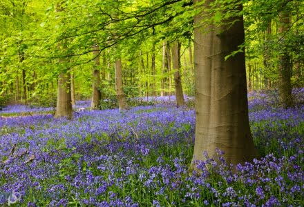 Bluebells, West Woods, Wiltshire