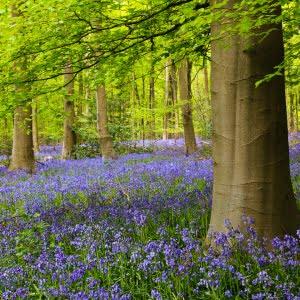 Bluebells, West Woods, Wiltshire